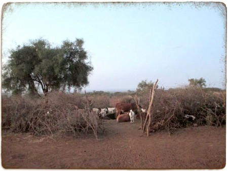 Masai Corral